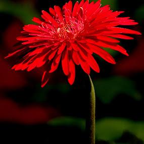 jarbera by Amalendu Saha - Flowers Single Flower