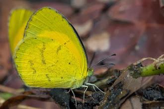 Photo: The commonest yellow butterfly A borboleta amarela mais comum