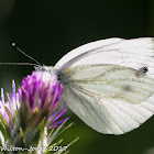 Green-veined White;