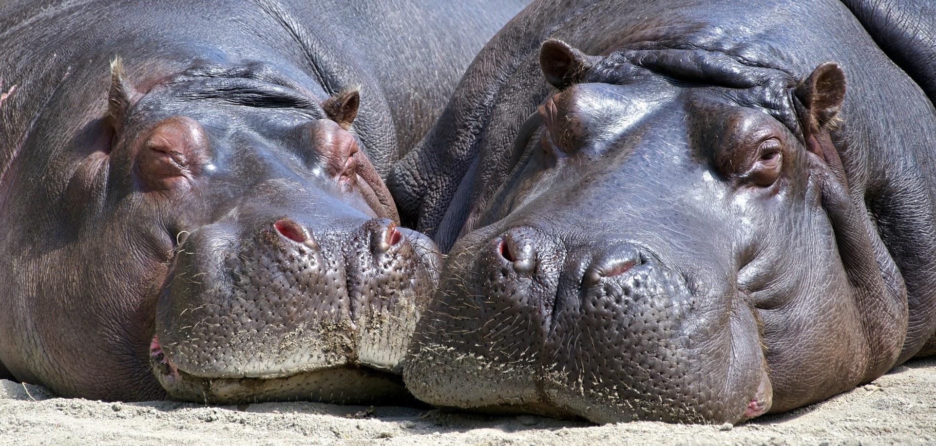 help the hippopotamus
