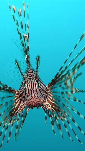 Lion Fish Wallpapers