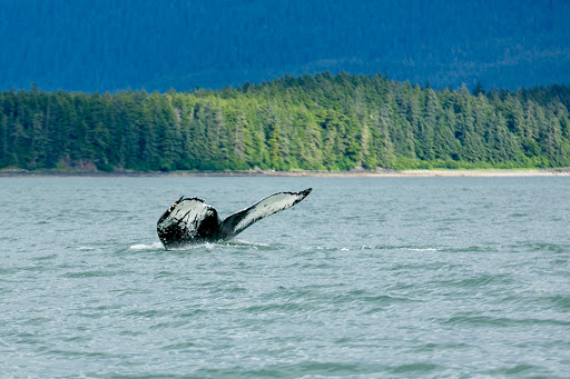 A humpback whale in Auke Bay, Alaska, identified as Sasha, seen during an excursion out of Juneau.
