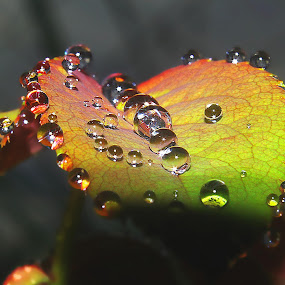 rose leaves and droplets by Capucino Julio - Nature Up Close Leaves & Grasses ( water, rose, nature, leaves, flower, droplets )