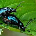 Alder leaf beetle, Oriental leaf beetle