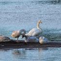 Cisne cantor (Whooper swan)
