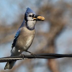 Blue jay by Michael Velardo - Animals Birds ( blue jay bird, nature, cyanocitta cristata, bird with peanuts, wildlife, blue jay,  )