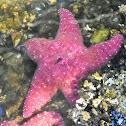 Short spined sea star