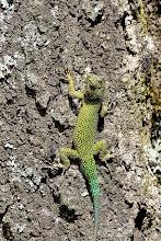 Photo: Malachite Lizard @ Savegre Lodge, San Gerardo de Dota