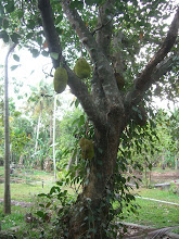 Photo: jack fruit tree onthe grounds of our homestay