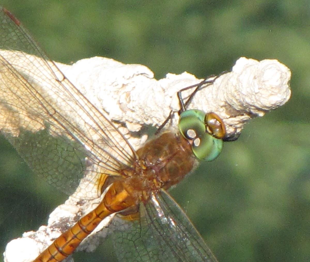 Green-eyed Hawker Dragonfly
