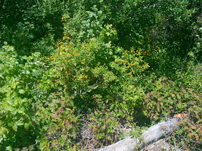Photo: Sticky monkey flower. The native Americans used it as an antiseptic ointment for scrapes and burns.