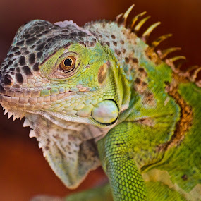 An Iguana by Vamsi Korabathina - Animals Reptiles ( reptiles, iguana )