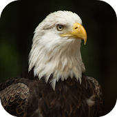 Bald Eagle Wallpapers Android APK Download Free By Leafgreen