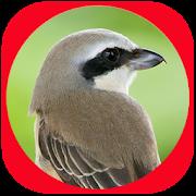 Suara Burung Cendet Masteran