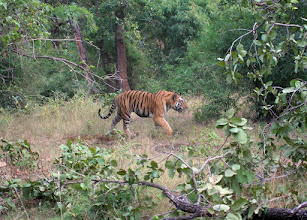Photo: King of the Jungle in his element- Tiger Awareness Charity