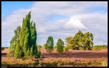 Photo: Lüneburger Heide   Jetzt ist eine gute Zeit zum Ernten der Wacholderbeeren. Wacholderbeeren sind für beinahe jede Küche unentbehrlich. Sie gehören ins Sauerkraut und Rotkraut, in die Marinaden für Sauerbraten und Wild. Ferner passen Sie zur Forelle und Karpfen blau und zum Gänsebraten.
