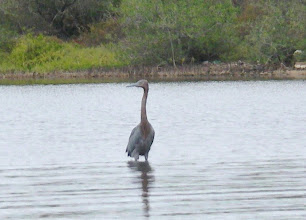 Photo: Reddish egret