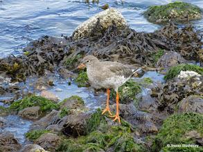 Photo: Redshank
