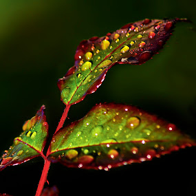 Raindrops by Edit Peterffy - Nature Up Close Leaves & Grasses ( raindrops )