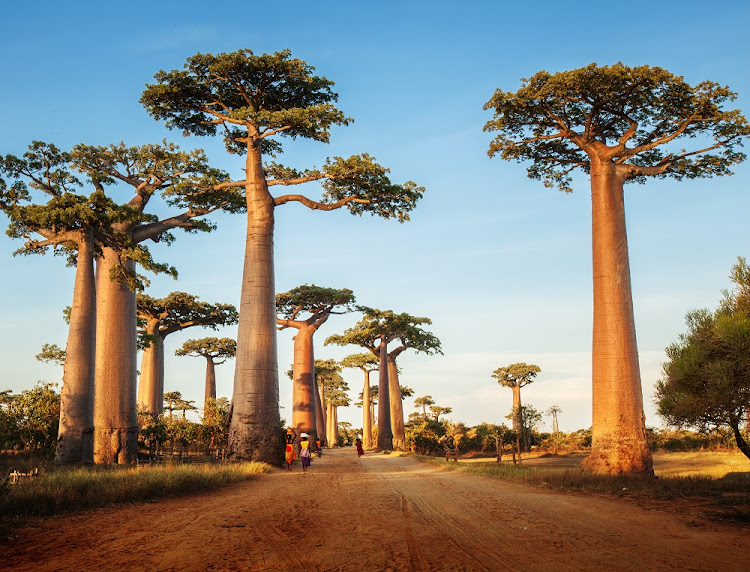 Baobab trees along the rural road on a sunny day