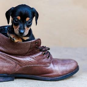 Puppie by Susan Pretorius - Animals - Dogs Puppies