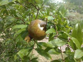 Photo: Promising pomegranate 6/2/13
