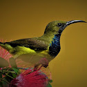 Olive-backed sunbird (Male)