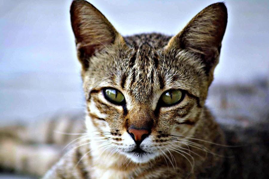 by Mohd Nazri Omar - Animals - Cats Portraits