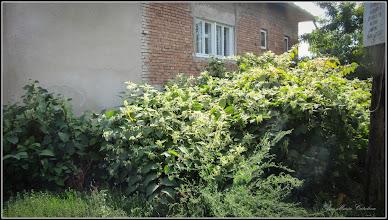 Photo: Iulişca (Fallopia japonica) sau Polygonum Cuspidatum, Polygonum polystachyum - de pe Str. Gheorghe Lazar - 2017.09.10