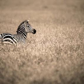 Lonely Zebra by Justin Bowen - Animals Other Mammals ( zebra, maasai )
