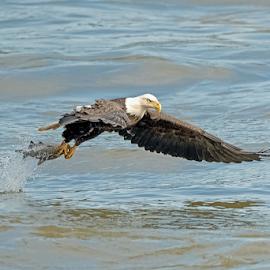 Fishing.... by Ioannis Alexander - Animals Birds ( raptor, bird of prey, predator, eagle, bald eagle, pray, wildlife )
