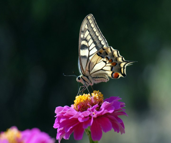 La farfalla di phothos53
