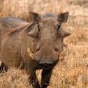 Facóquero común (Common warthog)
