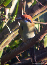 Photo: Russet-crowned Motmot at La Bajada