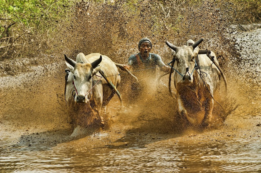 still other pacu jawi by Don Borland - News & Events World Events ( don borland, pacu jawi )