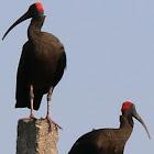 Red-naped Black Ibis