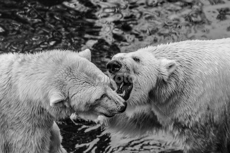 Polar by Garry Chisholm - Black & White Animals ( polar bear, nature, mammal, ranua, finland, garry chisholm )