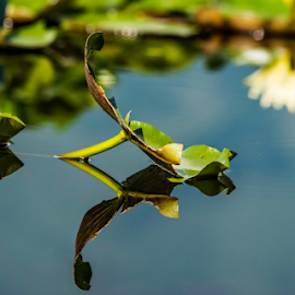 Heaven on Earth by Sam's 1 Shot - Nature Up Close Leaves & Grasses ( reflection, earth, switzerland, lily, of india, india, water, lake, srinagar, dal, heaven, on,  )