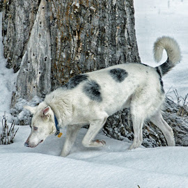 On a Scent Trail by Twin Wranglers Baker - Animals - Dogs Running (  )