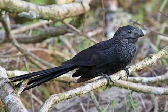 Photo: Smooth-billed Ani