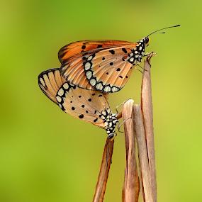 Making Love by Rizki Mayendra - Animals Other ( love, butterfly, beautiful, couple,  )