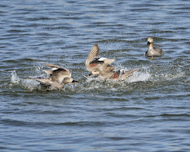 Photo: Male Gadwall's fighting