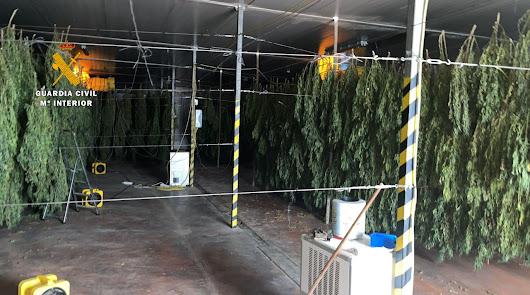 Hallan 125.000 plantas de cannabis en ocho plantaciones de cáñamo en Huércal