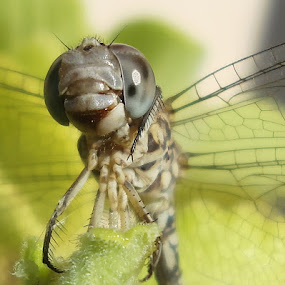 Wild Dragon Fly by Premkumar Antony - Animals Insects & Spiders