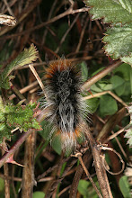 Photo: Larva of Platyprepia virginalis (Boisduval, 1852) - Ranchman's Tiger-moth, DHG