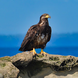 by Stefan Schottleitner - Uncategorized All Uncategorized ( symbol, feather, big, feet, prey, raptor, chrysaetos, plumage, beak, clipart, isolated, majestic, american, aquila, trees, scotland, america, rock, birdwatching, head, mountain, freedom, rocks, feathers, bird, golden, national, power, female, sunny, funny, wildlife, sky, proud, nature, predator, carpathia, threatened, brown, stone, eye, rhodope, blue, eagle, animal )