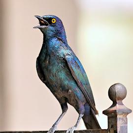 Starling Serenade  by Pieter J de Villiers - Animals Birds