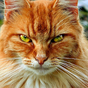 Good Kitty by James Cole - Animals - Cats Portraits (  )