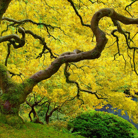 The Golden Age by Craig Bill - Nature Up Close Trees & Bushes ( gold, japanese, yellow, tree )