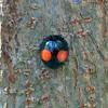 Twice-stabbed ladybug